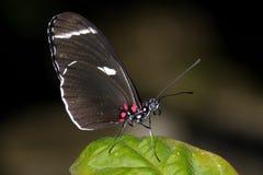 heliconius longwing Sara Zdjęcia Royalty Free