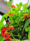 Heliconius, mariposa dominante del piano Imagenes de archivo