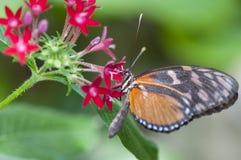 Heliconius melpomene蝴蝶,吃在花 免版税库存图片