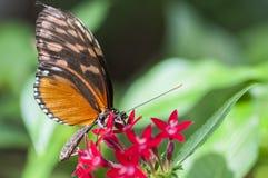 Heliconius melpomene motyl, je przy kwiatem Zdjęcia Royalty Free