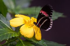 Heliconius melpomene, the postman butterfly, common postman or simply postman royalty free stock image