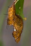 Heliconius melpomene pupa. Pupa of The Postman butterfly (Heliconius melpomene Stock Image
