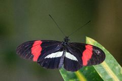 Free Heliconius Melpomene, The Postman Butterfly, Common Postman Or Simply Postman, Is A Brightly Colored Butterfly Stock Photo - 151911340