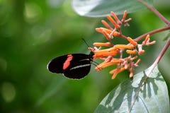 Heliconius melpomente butterfly feeding. Heliconius melpomente butterfly on a flower royalty free stock photo