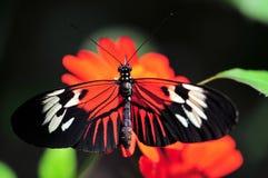 Heliconius motylia pozycja na Meksykańskim słoneczniku Zdjęcie Royalty Free