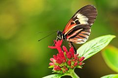 Heliconius Numata Butterfly Royalty Free Stock Image