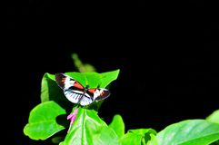 Heliconius Numata butterfly on black Royalty Free Stock Photo