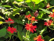 Heliconius Numata Butterfly (Underside) Royalty Free Stock Photo