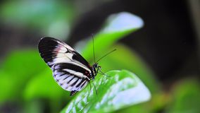 Heliconius, piano key butterfly Royalty Free Stock Photo