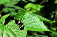 Heliconius piano key butterfly on green leaf Royalty Free Stock Image