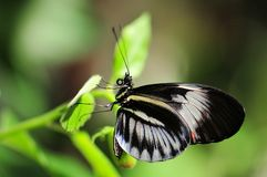 Heliconius, piano key butterfly on green leaf Royalty Free Stock Image