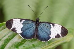 Heliconius sapho. In a butterfly garden stock photography