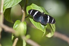 Heliconius Sara butterfly Royalty Free Stock Images