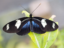 Heliconius sara butterfly. Black blue and white. Stock Photography