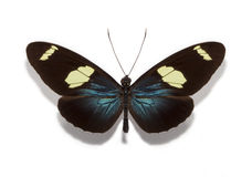 Heliconius sara butterfly Royalty Free Stock Photography
