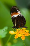 Heliconius tropical butterfly. Tropical butterfly Heliconius resting on Spanish flag flowers royalty free stock photography