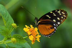 Heliconius tropical butterfly. Resting on Lantana or Spanish flag flowers stock photo
