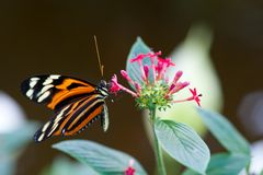 Heliconius xanthocles longwing butterfly. On a flower Stock Photo