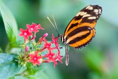 Free Heliconius Xanthocles Longwing Butterfly Royalty Free Stock Images - 18559739