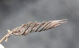 Helicteres isora, Indian screw tree Stock Photo