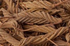 Helicteres Isora (Marod Phali (Хинди) Стоковые Фото
