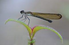 Heliocypha perforata female damselfly Stock Images