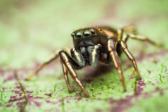 Heliophanus auratus jumping spider. Heliophanus auratus male jumping spider from salticidae family of spiders on green leaf Stock Photography