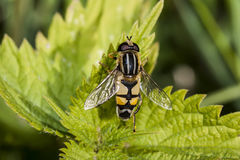 Heliophilus trivittatus Stock Photo