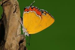 Heliophorus moorei/manlig/fjäril Arkivfoto