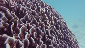 Heliopora-Blau-Koralle stock video footage