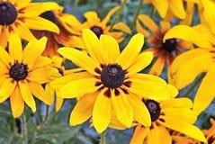 Heliopsis-Blume Stockfotos