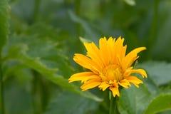 Heliopsis in de de zomertuin royalty-vrije stock afbeelding
