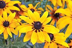 Heliopsis Flower. Beautiful yellow summer flowers in the garden. Heliopsis scabra Stock Photos