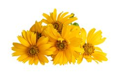 Heliopsis flowers or False sunflower, Oxeye sunflower, Sweet smooth oxeye on white royalty free stock photos