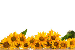 Heliopsis Royalty Free Stock Image