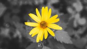 Heliopsis helianthoides één gele bloemachtergrond Eeuwigdurend close-up Gelijkaardig aan het gele madeliefje als achtergrond stock foto's
