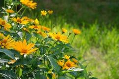 Heliopsis helianthoides, κίτρινα λουλούδια Στοκ Φωτογραφίες