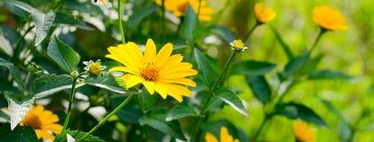 Heliopsis helianthoides, κίτρινα λουλούδια Στοκ φωτογραφία με δικαίωμα ελεύθερης χρήσης