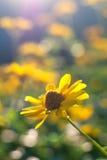 Heliopsis helianthoides Stock Afbeelding