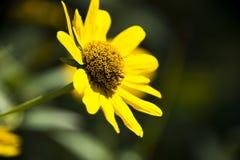 Heliopsis helianthoides Royalty Free Stock Photos