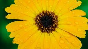 Heliopsis helianthoides ein gelber Blumenhintergrund Beständige Nahaufnahme Ähnlich dem gelben Gänseblümchen als Hintergrund Hohe lizenzfreies stockbild