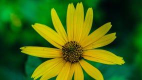 Heliopsis helianthoides ein gelber Blumenhintergrund Beständige Nahaufnahme Ähnlich dem gelben Gänseblümchen als Hintergrund Hohe lizenzfreie stockfotografie