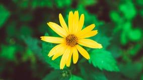 Heliopsis helianthoides ein gelber Blumenhintergrund Beständige Nahaufnahme Ähnlich dem gelben Gänseblümchen als Hintergrund Hohe lizenzfreie stockbilder