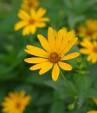 Heliopsis helianthoides flower Royalty Free Stock Photography