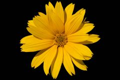 Heliopsis `Summer Sun` bright gold flower isolated on black. Royalty Free Stock Image