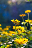 Heliopsis helianthoides Stock Photography