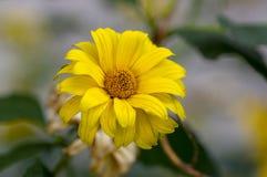 Heliopsis helianthoides wysokości żółtego ogródu ornamentacyjni kwiaty w kwiacie zdjęcie royalty free