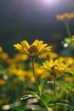 Heliopsis helianthoides, zonnebloem-als samengestelde flowerheads Stock Fotografie