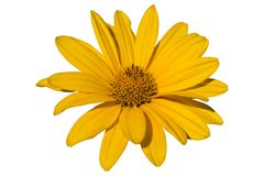 Heliopsis `Light of Loddon` yellow flower isolated on white. Stock Images