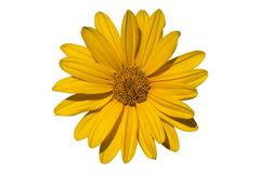 Heliopsis `Light of Loddon` yellow flower isolated on white. Stock Photo